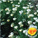 White California Poppy with Poppy in the lower right corner of photo