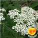 Common Yarrow with Poppy in the lower right corner of photo